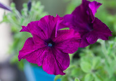 Flower petunia Royalty Free Stock Image
