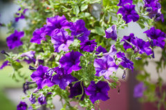 Flower petunia Stock Images
