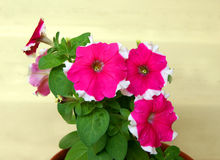 Flower Petunia Royalty Free Stock Photos