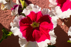 Flower a petunia Royalty Free Stock Photography