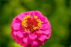 Flower a petunia Stock Image