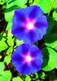 Flower petunia Royalty Free Stock Image