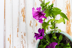 Flower Petunia with green leaves on background old wood Board Stock Image