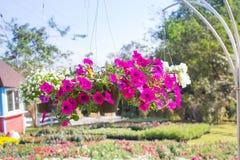 Flower petunia hanging stock photo