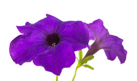 Flower petunia isolated Stock Photo