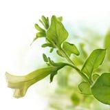 Flower of petunia pendula royalty free stock photography