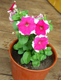 Flower Petunia in pot Stock Photography