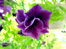 Flower Petunia Terry Duo Blue. Purple branches Petunia Terry Duo Blue Royalty Free Stock Photography