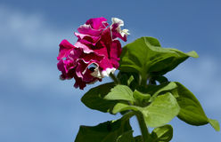 Flower Petunia Terry Royalty Free Stock Images