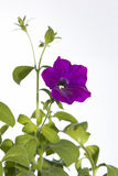 Flower petunia on white background Stock Photo