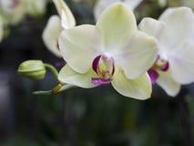 Flower of phalaenopsis Stock Images