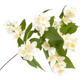 Flower philadelphus Stock Photo