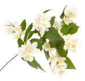 Flower philadelphus. Isolated on white background Stock Photo