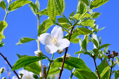 Flower of Philadelphus close up with green leaves. Royalty Free Stock Photos