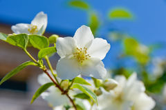 Flower of Philadelphus close up with green leaves. Stock Photography