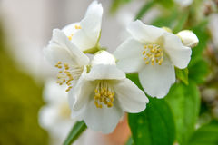 Flower of Philadelphus close up with green leaves. Royalty Free Stock Photo