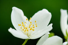 Flower of Philadelphus inodorus. Close up of Scentless mock orange Philadelphus inodorus L. flower from side Stock Images