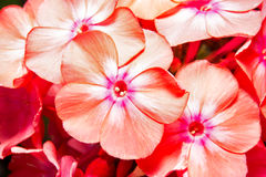 Flower of Phlox Stock Images