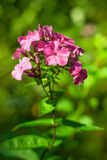 Flower Phlox Stock Photos