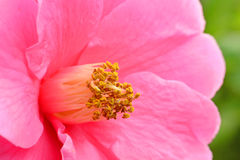 Flower. A photo of a camellia sasanqua flower Royalty Free Stock Image