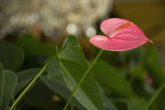 Flower 86. Photo of a pink flower with green leaves and saturated colours Stock Photo