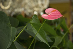 Flower 88. Photo of a pink flower with green leaves and saturated colours Royalty Free Stock Photo
