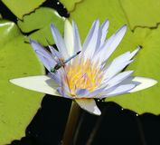 Flower. Pic .White water lilly Stock Photography