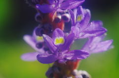Flower of Pickerel weed. A close up of  Pickerel weed flower Royalty Free Stock Photo