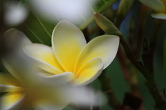 Flower Frangipani Stock Photo