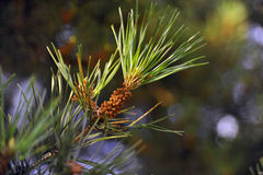 Flower pine. Stock Image