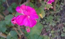 Flower Pink 🌹🌸. In The Brazil #MariaIderlane #Love_Flowers stock photos