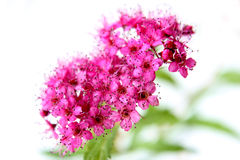 Flower Pink stock photo