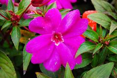 Flower. Pink of Flower Stock Image