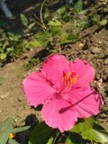 Flower. Pink flower Royalty Free Stock Image