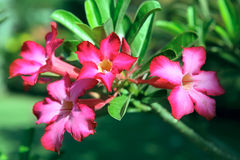 Flower Pink Adenium. Desert rose Stock Photography