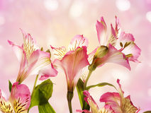 Flower pink  Alstroemeria Royalty Free Stock Photography