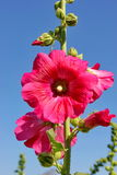 Flower. Pink flower is beautiful and big flower Stock Photography
