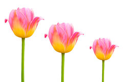 Flower pink  beautiful tulips isolated on white Royalty Free Stock Images