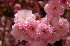 Flower, Pink, Blossom, Cherry Blossom royalty free stock photography