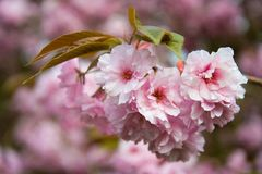 Flower, Pink, Blossom, Cherry Blossom royalty free stock photo