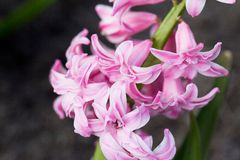 Flower of pink blossoming hyacinth in garden on green background Stock Images