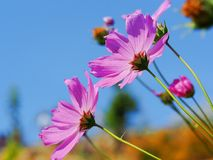Flower. Pink flower on blue background royalty free stock images