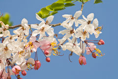 Flower Pink Cassia Stock Photos
