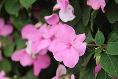 Plant , flower, Pink catharanthus roseus , periwinkle, happy memories, youth often in, constancy Royalty Free Stock Photography