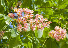 Flower of pink chestnut tree Royalty Free Stock Images
