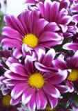 Flower of pink chrysanthemum Stock Photos
