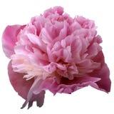Flower of pink chrysanthemum Royalty Free Stock Photography