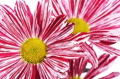 Flower pink chrysanthemums on a white background Royalty Free Stock Images
