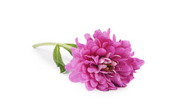 Flower pink chrysanthemums on a white background Stock Image
