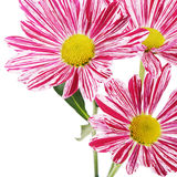 Flower pink chrysanthemums on a white background Stock Images